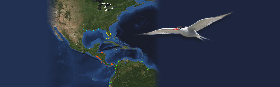 Image of a migratory map showing locations in Canada and South America with image of Tern