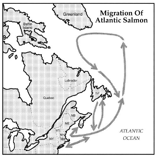 Atlantic salmon migration route