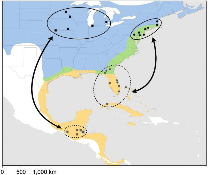 grey catbird migratory connectivity