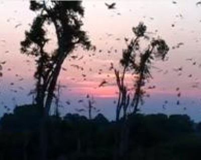 African straw‐colored fruit bats in Kasanka National Park, Zambia
