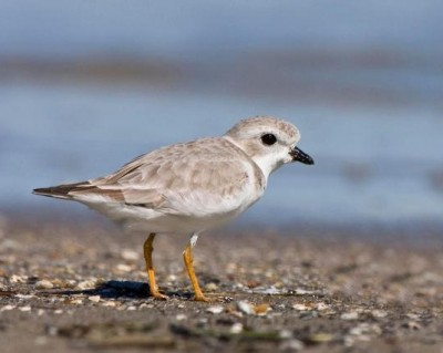 piping plover during the non-breeding season