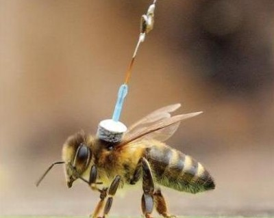 Honey bee with harmonic tag (from Chapman et al. 2011)