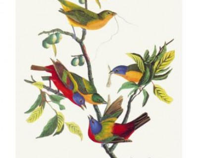 painted bunting (John James Audubon)