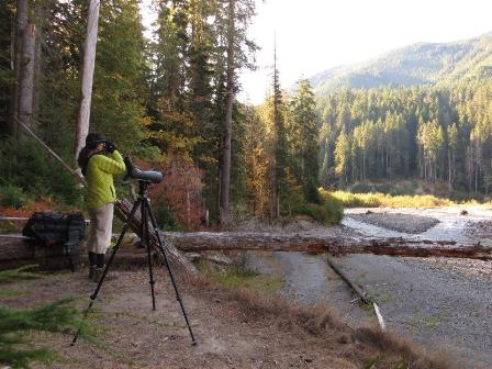 American dipper and salmon project, Olympic Peninsula
