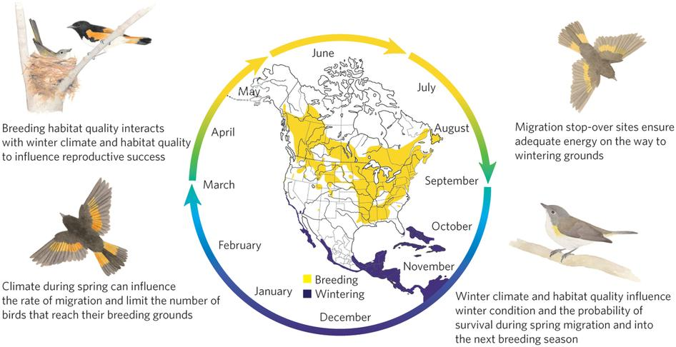 America redstart life cycle (Megan Gnekow © 2010 Cornell Laboratory of Ornithology)