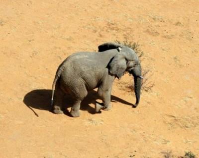 Gourma elephant with GPS collar