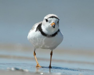piping plover (from USFWS)