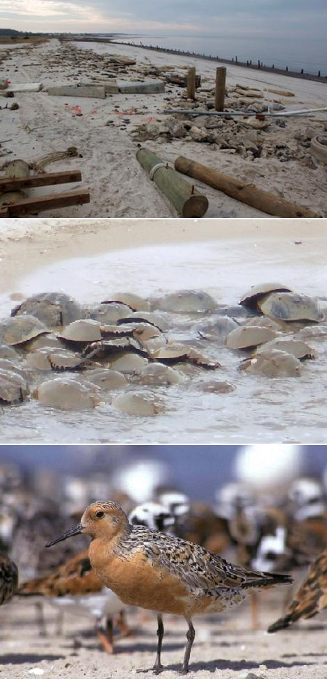 Damage by hurricane Sandy; mating horseshoe crabs; and red knot