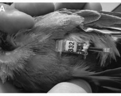 geolocator on bird (Bridge et al. 2013)