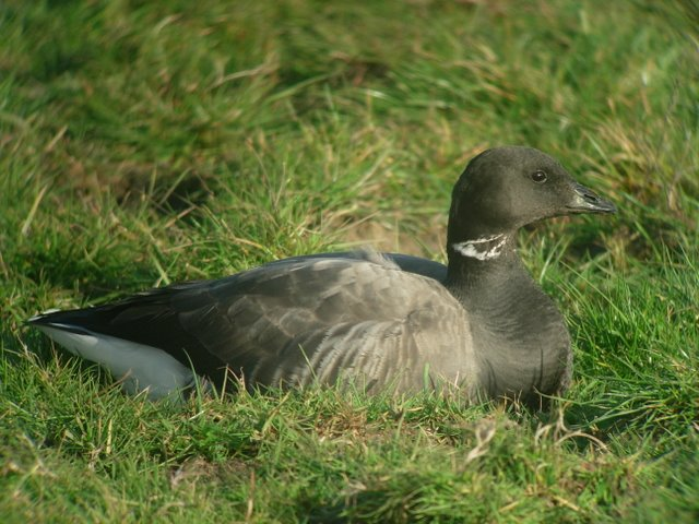 black brant goose