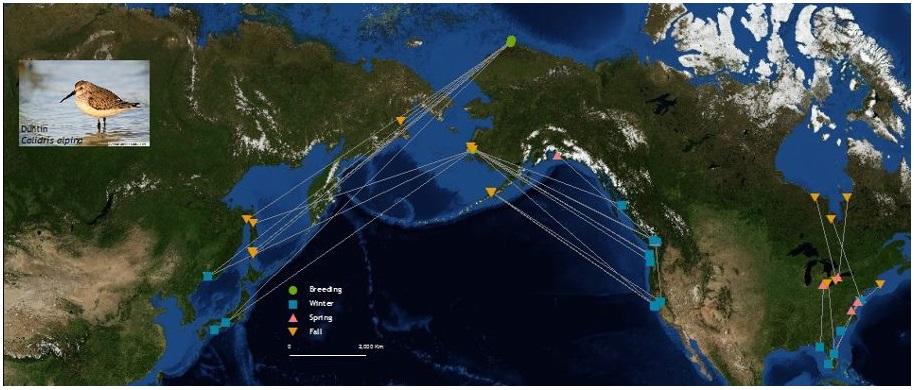 Calidris alpina connectivity map