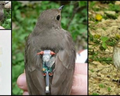 Swainson's thrush with geolocator