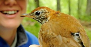 Wood Thrush with geolocator