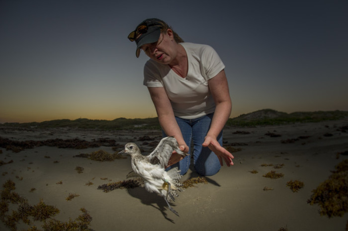 Natalie Riley of ConocoPhillips releasing a plover. © Tim Romano.