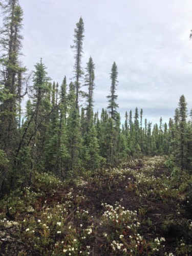 Alberta boreal forest near Fort McMurray (Photo: Amy Scarpignato)