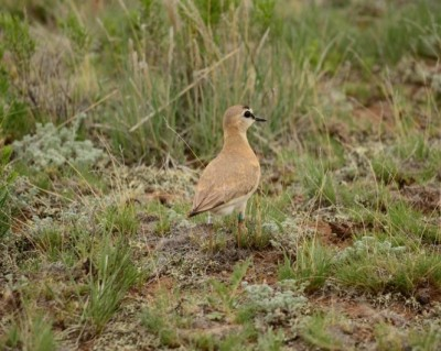 A 10-year-old mountain plover in South Park, CO