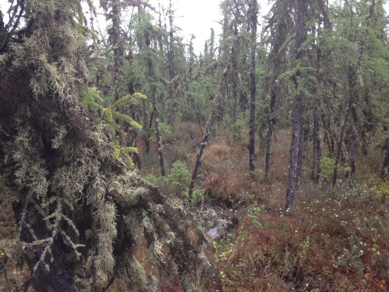 Wet sphagnum moss with old, lichen-covered larch trees provides great habitat for Rusty Blackbirds.