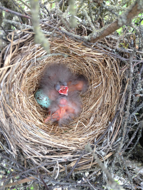 A Rusty Blackbird nest containing one egg and several freshly-hatched chicks.