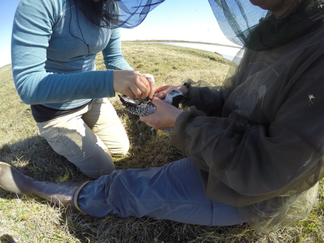 Attaching the satellite transmitter. Photo: Elyce Gosselin