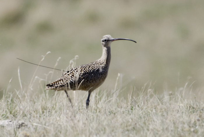 If this is George, then who is on the nest? Male Curlew tagged in Georgia, pictured in Saskatchewan. Photo: Annie McLeod