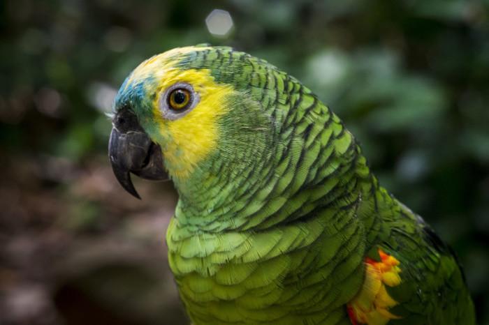Amazona aestiva