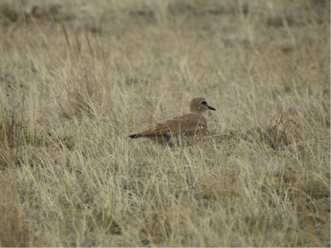 Mountain Plover with GPS tag antenna visible a year after it was attached. (Photo: Alli Pierce)