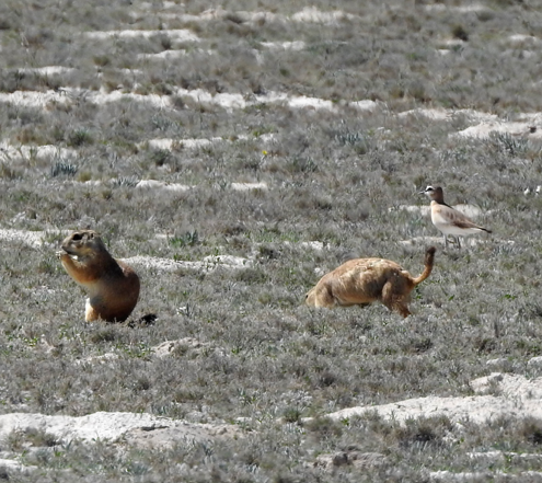Mexican prairie dogs (Cynomys mexicanus) foraging in the company of a Mountain Plover. This species is an endangered relative of the black-tailed prairie dog (Cynomys ludovicianus) which is associated with Mountain Plover in the United States. Credit: Alli Pierce