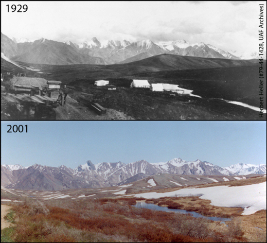 Changing shrublines from Denali's Repeat Photography Project. In 1929 the Alaska Road Commission worked near the summit of Sable Pass building the Denali Park Road. Pictured here is one of their camps. By 2001 you can see that this alpine area is now supporting more woody vegetation, with 0.5-1 meter tall willows present throughout the area that the camp existed. Photo Credits:Herbert Heller (#79-44-1428, UAF Archives) (1929), Layne Adams (2001).