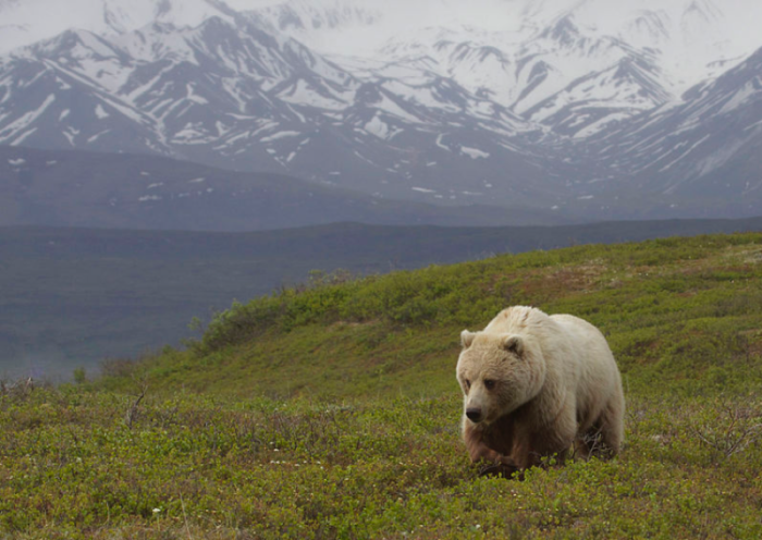 Toklat color-morph Grizzly (Ursus arctos) in Denali National Park, Gregory Smith, Wikimedia Commons