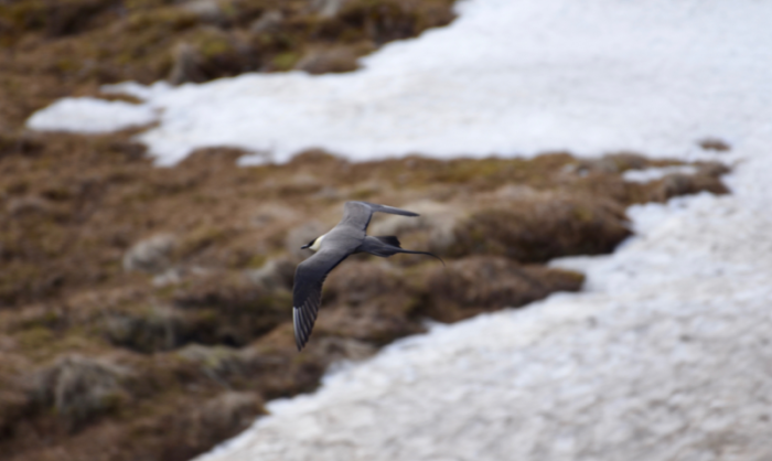 Long-tailed Jaeger flying over the tundra of Denali National Park