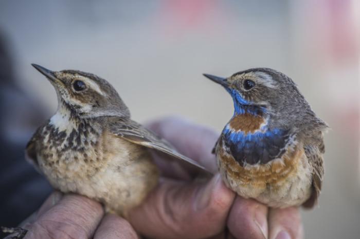 Male and Female Bluethroat. Photo by Tim Romano