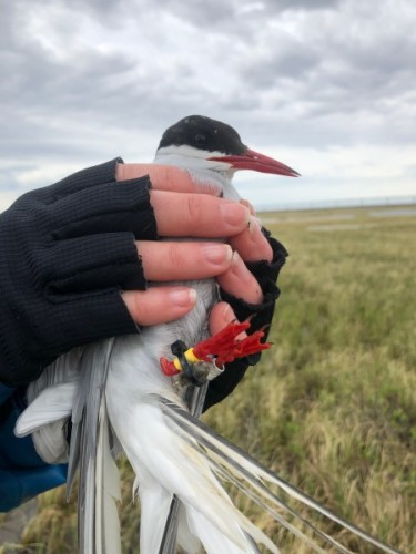 Arctic Tern with geolocator.