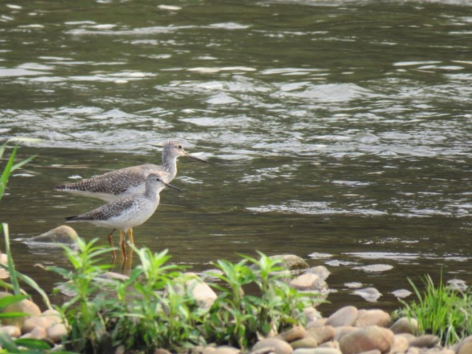 Greater and Lesser Yellowlegs in Colombia.